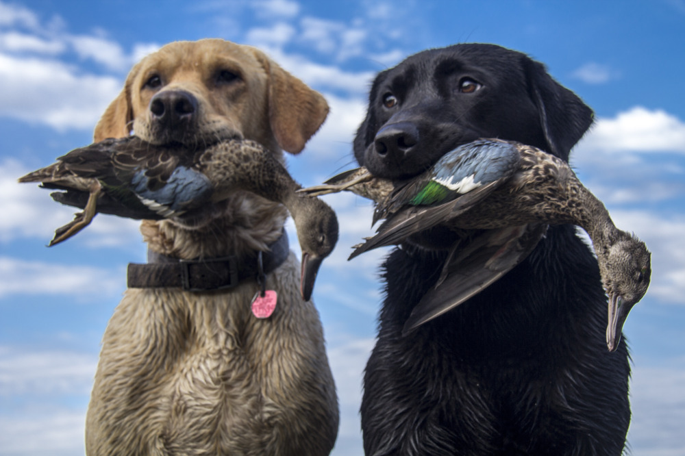 Outdoor adventures worldwide southeastern kansas ducks for Texas fishing license cost
