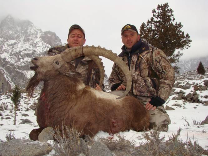 Himalayan ibex - photo#24